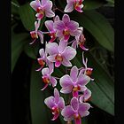 The rare purple orchid by Dan  Wampler