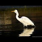 Ardea Alba - Great White Egret Eating Fish In Porpoise Channel - Stony Brook, New York by © Sophie Smith