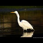 Ardea Alba - Great White Egret Swallowing Fish In Porpoise Channel - Stony Brook, New York by © Sophie Smith