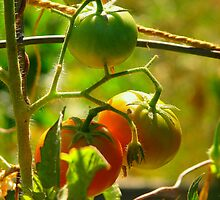 The Tomato Patch  by fab4jpgr
