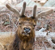 Happy Elk by Eivor Kuchta