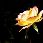 Profile of a Rose by Emma Gorman