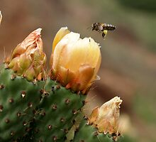 Plundered Prickly Pear by Harry Purves
