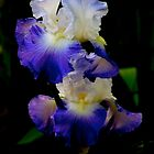 Iris Beauty by Barbara  Brown