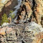 Osprey on Nest In Yellowstone USA by AnnDixon