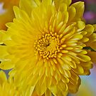Mother's Day Chrysanthemum by Penny Smith