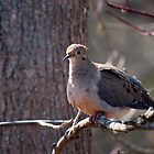 Mourning Dove At Cranberry Marsh by Gary Chapple