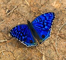 Very Blue butterfly ( Madagascar ? )  by john  Lenagan