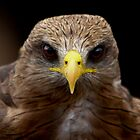 Black Kite  -  ( Milvus migrans ) Ngorongoro Crater Tanzania by john  Lenagan