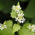Garlic Mustard by Linda  Makiej