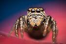 Evarcha arcuata female jumping spider high magnification photo by Mario Cehulic