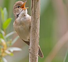 Reed Warbler by Alan Forder