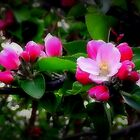 Apple Blossom by shelleybabe2