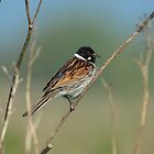 Reed Bunting by Peter Wiggerman