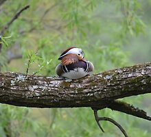 Mandarin In A Tree #2 by Sauropod8