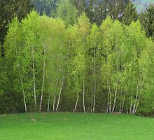 Spring Green - Birch Trees by Christine Wilson