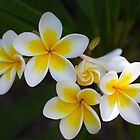 Frangipani by Megan Shapcott