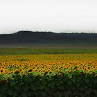 sunflower fields by Megan Shapcott