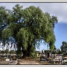 Ceme - tree  Wangaratta Victoria by bekyimage