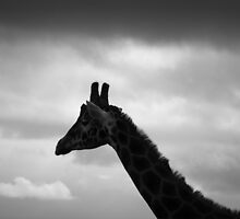 Giraffe at dawn by Louise Delahunty