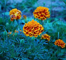 Marigolds by Soviath