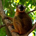Red Collared Brown Lemur    Isalo NP  Madagascar by john  Lenagan
