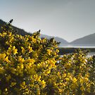 Booming gorse by EileenW