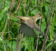 Reed Warbler in flight by Peter Wiggerman