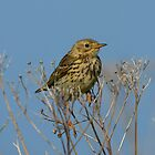 Meadow Pipit - II by Peter Wiggerman