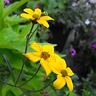 pretty yellow garden flowers. nature photography. by naturematters