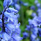 BlueBells  by Theia