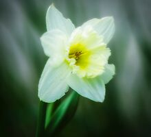 Narcissus pseudonarcissus by Erik Brede