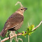 Mrs. Cowbird by lorilee