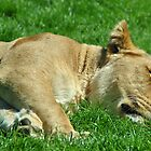 "Ever played ""sleeping lions""? by Photography  by Mathilde"