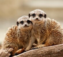 Cute Meerkats by Tony Smith