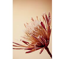 Protea Photographic Print