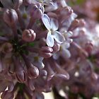 Lilac grace by MarianBendeth