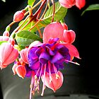 Spring Flowers-Fuscia by ctheworld