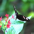 Black, white and pink butterfly by Meghan1980