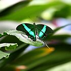 Emerald Swallowtail by Meghan1980