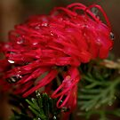 Grevillea presseii. by Bette Devine
