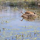 Nesting Sandhill Crane by Thomas Young
