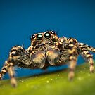 Marpissa muscosa male jumping spider macro photo by Mario Cehulic
