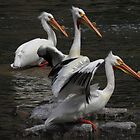 American White Pelicans by Alex Call