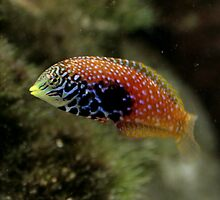 Tropical wrasse by Paul Dean