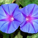 Ipomoea Purple Flowers by taiche