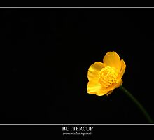 Buttercup (ranunculus repens) Labeled by Alan Harman