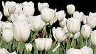 White Tulips - Ottawa Tulip Festival by Debbie Pinard