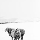 Two Sheep in Snow in black and white by taralewisart