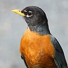An American Robin by jozi1